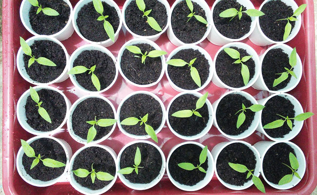 vegetable-seedlings