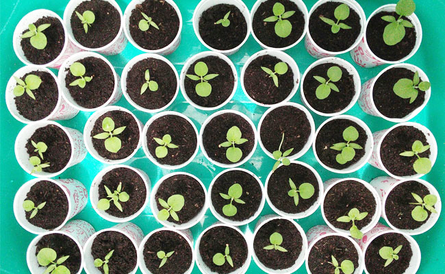 brinjal-seedlings